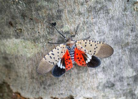 Picture of a Spotted Lantern Fly