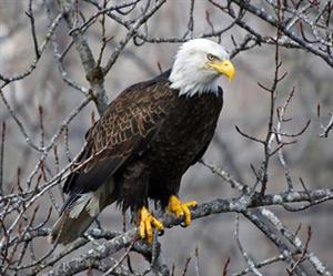 Bald Eagle on Branch